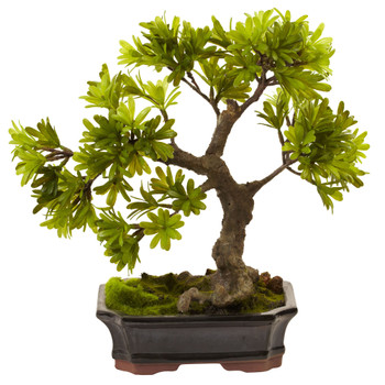 Podocarpus w/Mossed Bonsai Planter - SKU #4848