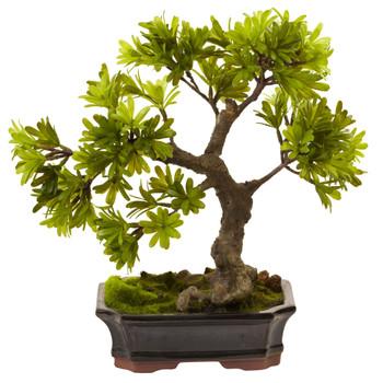 Podocarpus w/Mossed Bonsai Planter - SKU #4848