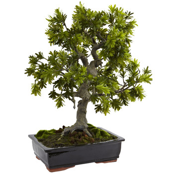 Giant Podocarpus w/Mossed Bonsai Planter - SKU #4849