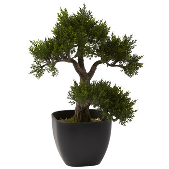 15 Cedar Bonsai - SKU #4966