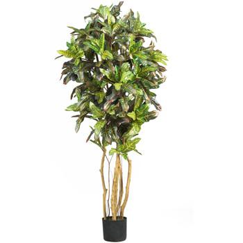 5 Croton Silk Tree - SKU #5180