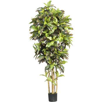 6 Croton Silk Tree - SKU #5211