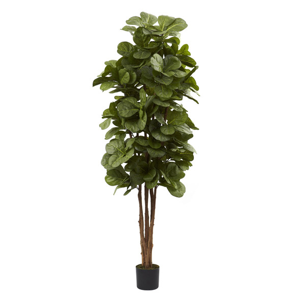 6 Fiddle Leaf Fig Tree - SKU #5346