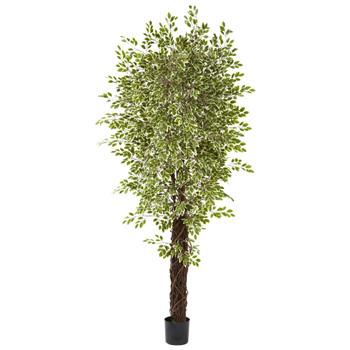 7.5 Variegated Mini Ficus Silk Tree - SKU #5431