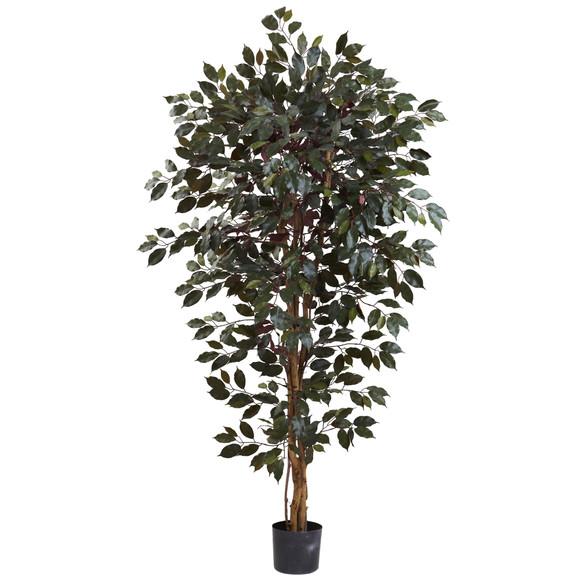 6 Capensia Ficus Tree x 3 w/1008 Lvs - SKU #5436