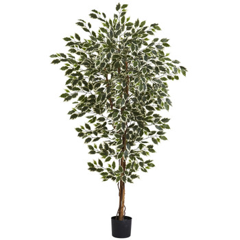 6 Hawaiian Ficus Tree - SKU #5437