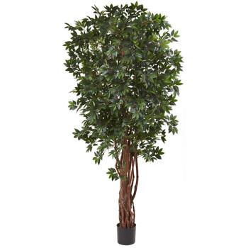 7.5 Lychee Silk Tree - SKU #5451