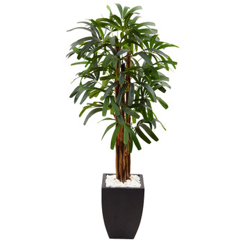 5.5 Raphis Plam Tree in Black Planter - SKU #5982