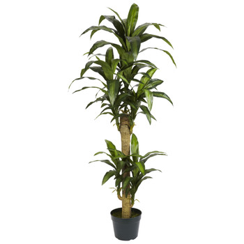 5 Yucca Silk Plant - SKU #6100
