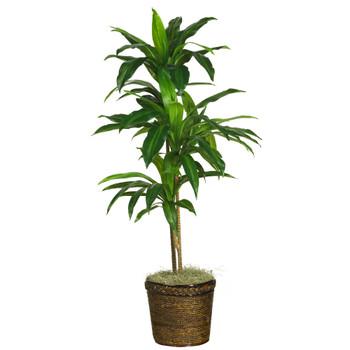 48 Dracaena w/Basket Silk Plant Real Touch - SKU #6585-0308