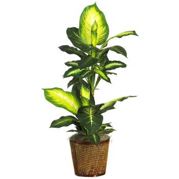 42 Golden Dieffenbachia w/Basket Silk Plant - SKU #6593-0307