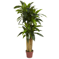 4 Corn Stalk Dracaena - SKU #6648